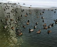 Open water ducks in winter stock image