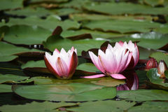 Open water lilies. A Close up of some pink open water lilies surrounded by lily pads Royalty Free Stock Photos