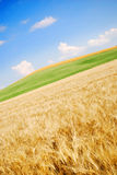 Open wheat field. A view of an open field of wheat in the foreground and an open field of green grass in the background.  Diagonal perspective Stock Image