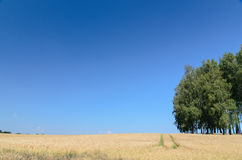 Open wheat field with trees in background - summer scene Stock Image