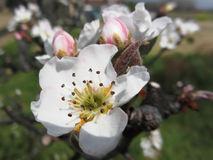 Open white apple flower and closed buds in spring . Tuscany, Italy Stock Image