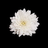 Open white chrysanthemum button  isolated on black Royalty Free Stock Photos