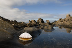 Open White Clam. Clam open on the side of a rock pool Stock Photo