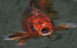 Open wide. A koi opens his mouth wide and begs for food. orange, black, and white mottled Koi in clear water Royalty Free Stock Image
