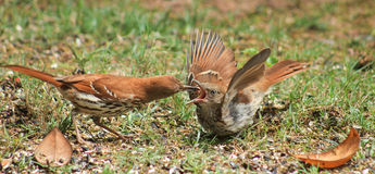 Open Wider- 1. Adult Brown Thrasher feeding his young with its beak wide open and wings out Royalty Free Stock Photo