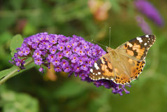 Open Winged American Lady Butterfly Royalty Free Stock Photography