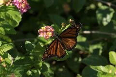 Open Winged Monarch Butterfly on Lantana Blooms. A beautiful Monarch butterfly feeds from pink and yellow Lantana blooms on a sunny afternoon stock photos
