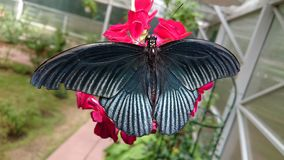 Open wings black and orange butterfly Royalty Free Stock Images
