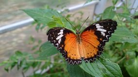 Open wings black and orange butterfly on green leafs Royalty Free Stock Photo