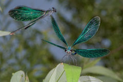 Open wings blue dragonfly macro Royalty Free Stock Images