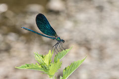 Open wings blue dragonfly macro Royalty Free Stock Photo