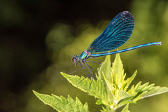 Open wings blue dragonfly macro Royalty Free Stock Photography