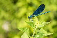 Open wings blue dragonfly macro Stock Photography