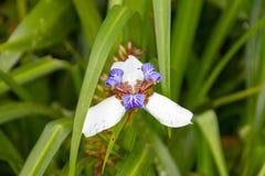Open Witte Iris Flower stock afbeeldingen
