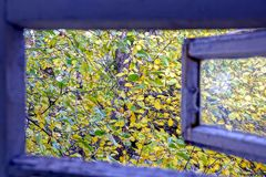 Open wooden window into the yard with branches and yellow green leaves Stock Images