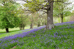 Open woodland with a carpet of bluebells Stock Photo