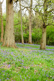 Open woodland of mature trees with a ground cover of bluebells Stock Image