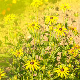 Open yellow daisy close up Royalty Free Stock Photo