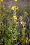 Open Yellow Oenothera Biennis Flowers Stock Images