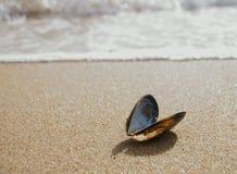 Open zeeschelp op een strand stock foto