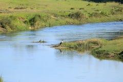 Openbill asiático lindo u oscitans asiáticos del Anastomus del pájaro de la cigüeña del openbill en la orilla del río en Nepal fotografía de archivo libre de regalías