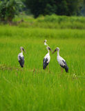 Openbill bird Green Field Royalty Free Stock Photography