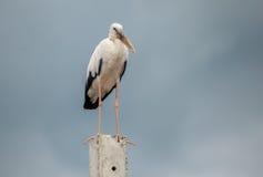Openbill birds. Big white Openbill birds on  cement Royalty Free Stock Photography