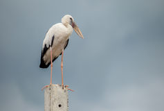 Openbill birds. Big white Openbill birds on  cement Stock Image