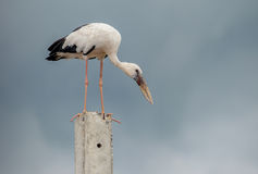 Openbill birds Royalty Free Stock Photography