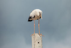 Openbill birds. Big white Openbill birds on  cement Royalty Free Stock Image