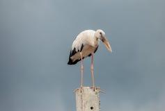 Openbill birds. Big white Openbill birds on  cement Stock Photo