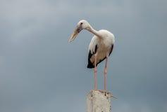 Openbill birds. Big white Openbill birds on  cement Royalty Free Stock Photo