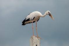 Openbill birds. Big white Openbill birds on  cement Royalty Free Stock Photos