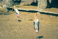 Openbill bocian jest w terenu safari parku obraz stock