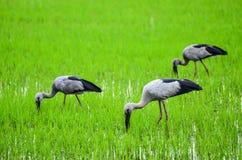 Openbill fåglar som bor i risfälten Arkivfoton