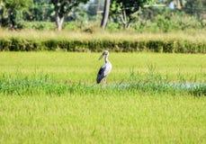 Openbill stork arkivbild