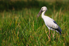 Openbill Stork Stock Photos