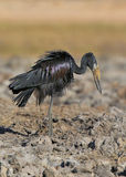 African Openbill Stork Royalty Free Stock Photo