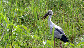 Openbill Stork Royalty Free Stock Photo