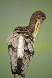 Openbill Stork Royalty Free Stock Photos