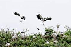 Openbill storks landing on the bush Royalty Free Stock Photo