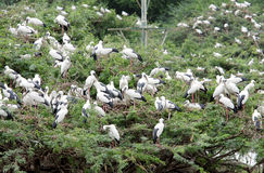Openbill Storks at Uppalapadu Bird Sanctuary Stock Photos