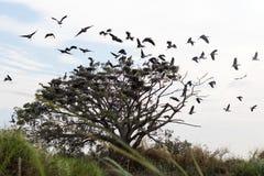 Openbill-Vögel, die von den Zweigen fliegen stockbilder