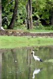 Openbill. An openbill is wading in a shallow water waiting for its prey stock images