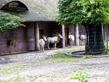 Antelopes in Berlin Germany Stock Images