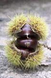 Opened castanea sativa, sweet chestnuts hidden in spiny cupules, tasty brownish nuts marron fruits. Castanea sativa, sweet chestnuts hidden in spiny cupules Stock Photo