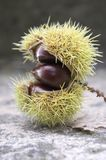 Opened castanea sativa, sweet chestnuts hidden in spiny cupules, tasty brownish nuts marron fruits. Castanea sativa, sweet chestnuts hidden in spiny cupules Stock Image