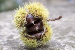 Opened castanea sativa, sweet chestnuts hidden in spiny cupules, tasty brownish nuts marron fruits. Castanea sativa, sweet chestnuts hidden in spiny cupules Royalty Free Stock Photo