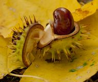 Opened chestnut Royalty Free Stock Photography