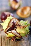 Opened conker. Royalty Free Stock Image